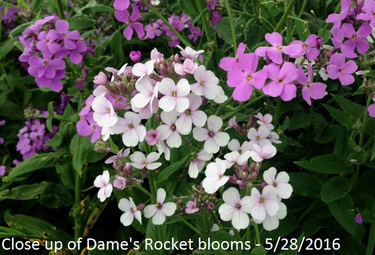 Dame's Rocket 5_28_2016 close up of blooms