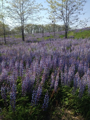 lupine and black oaks at BB
